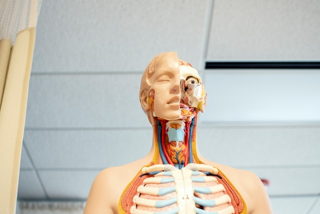 The human body model